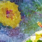 Hybiskusblüte am Fenster bei Gewitterregen - Alfred Loschen